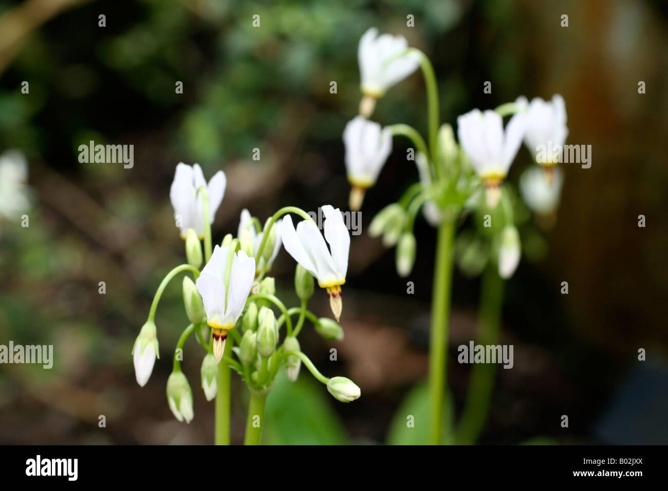DODECATHEON MEADIA ALBUM AGM - Stock Image