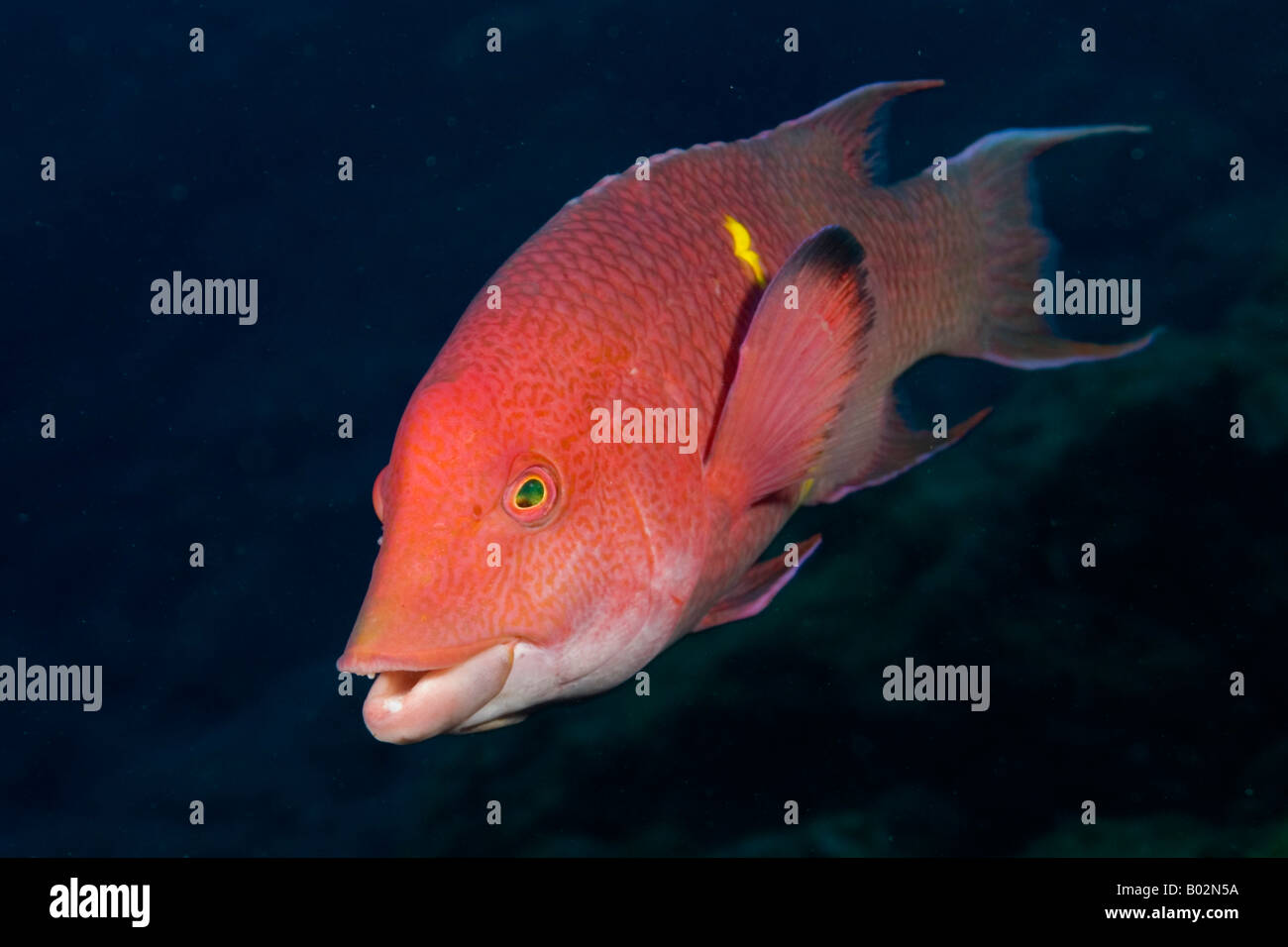 Mexican hogfish Revillagigedo islands, socorro islands, pacific ...
