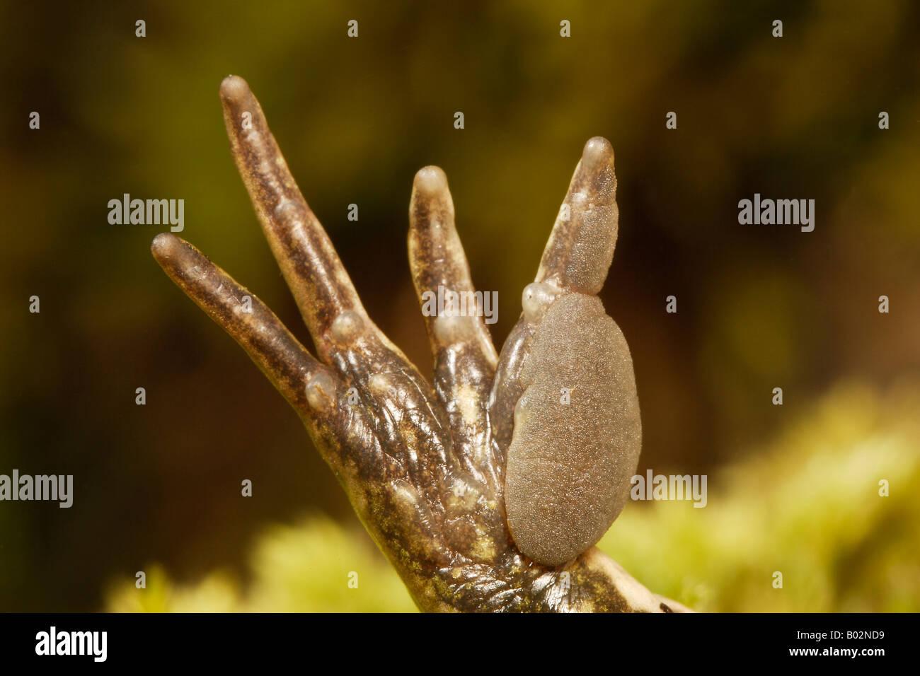 Perezs Frog (Rana perezi), front foot - Stock Image