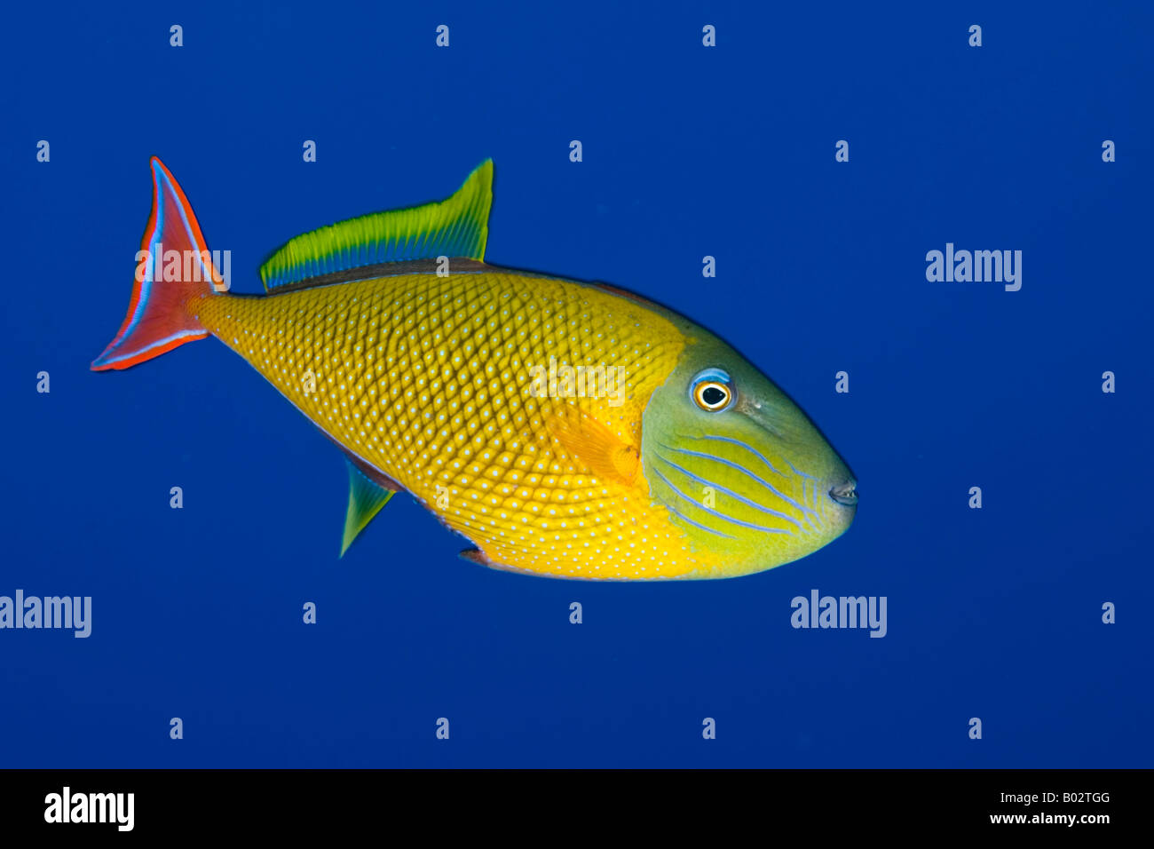 trigger fish in blue water, colorful, color, underwater, ocean, sea, scuba, diving, marine life, sea life, fish, - Stock Image