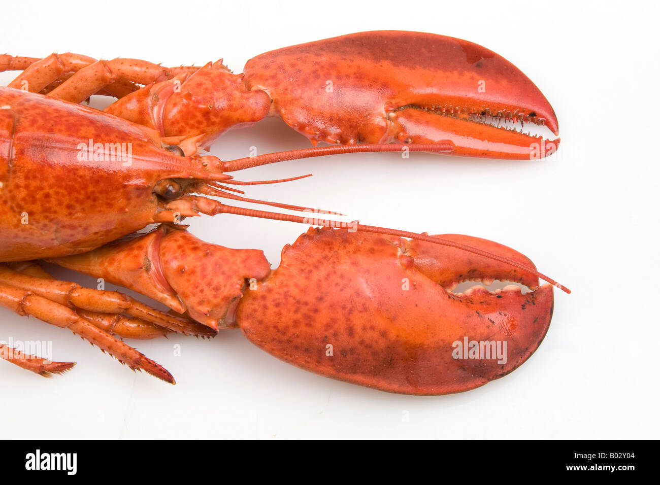 Cooked red lobster claws on white background. Horizontal. - Stock Image