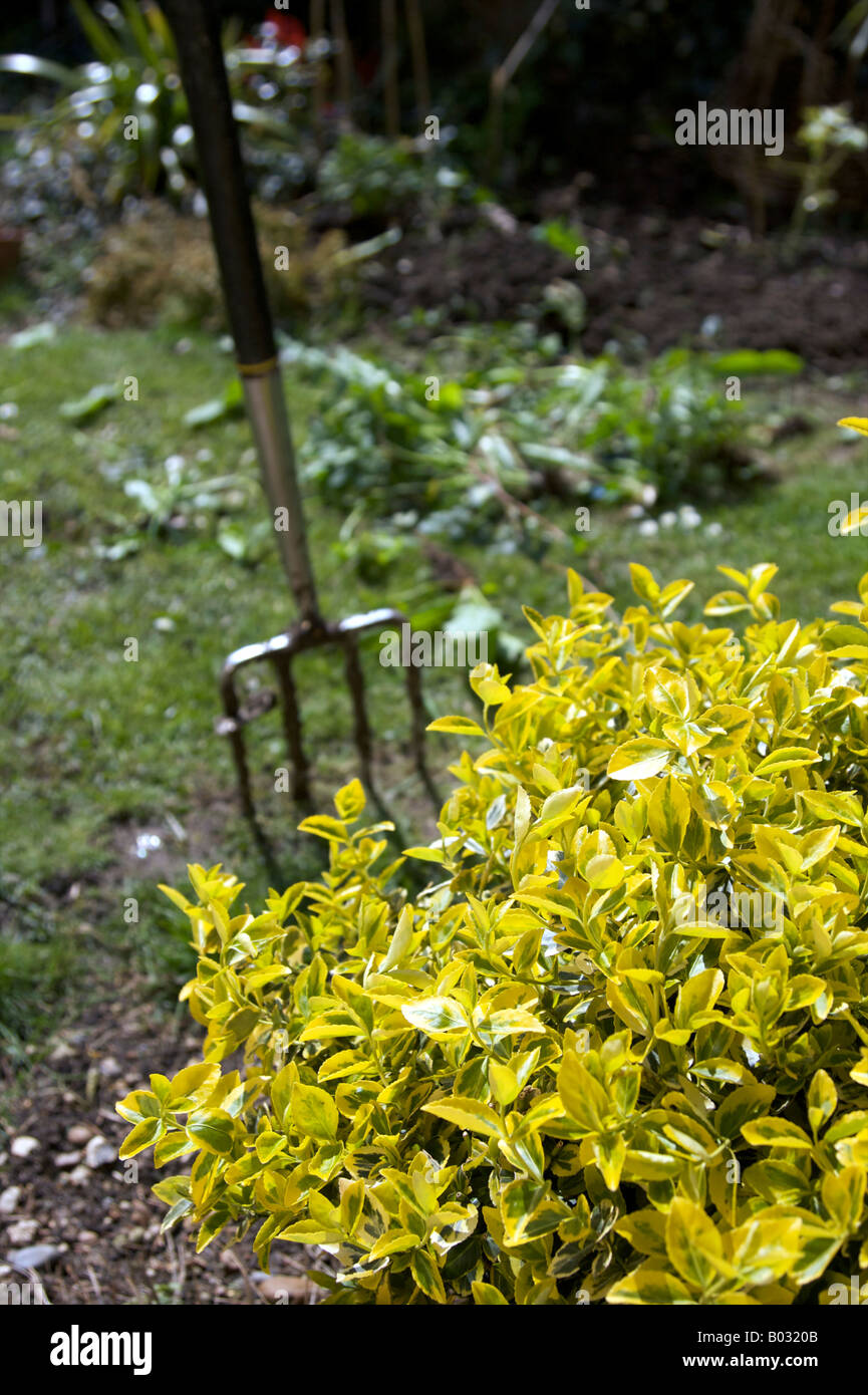 EUONYMUS CELASTRACEAE FORTUNEI EMERALD 'N' GOLD SHRUB WITH FORK GARDEN TOOL IN THE BACKGROUND - Stock Image