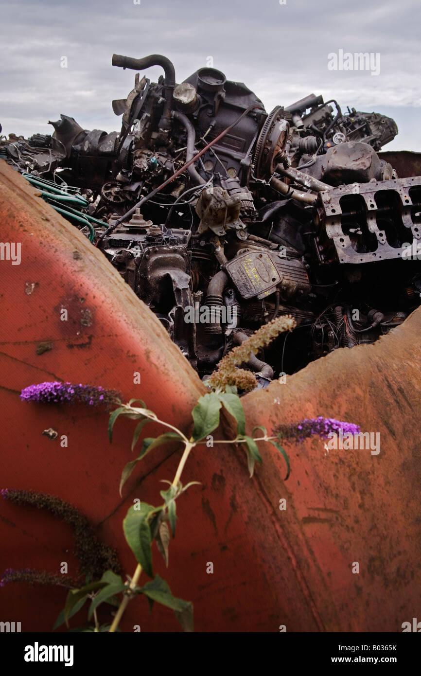 A wild buddleja flowers against a container of scrap metal. - Stock Image