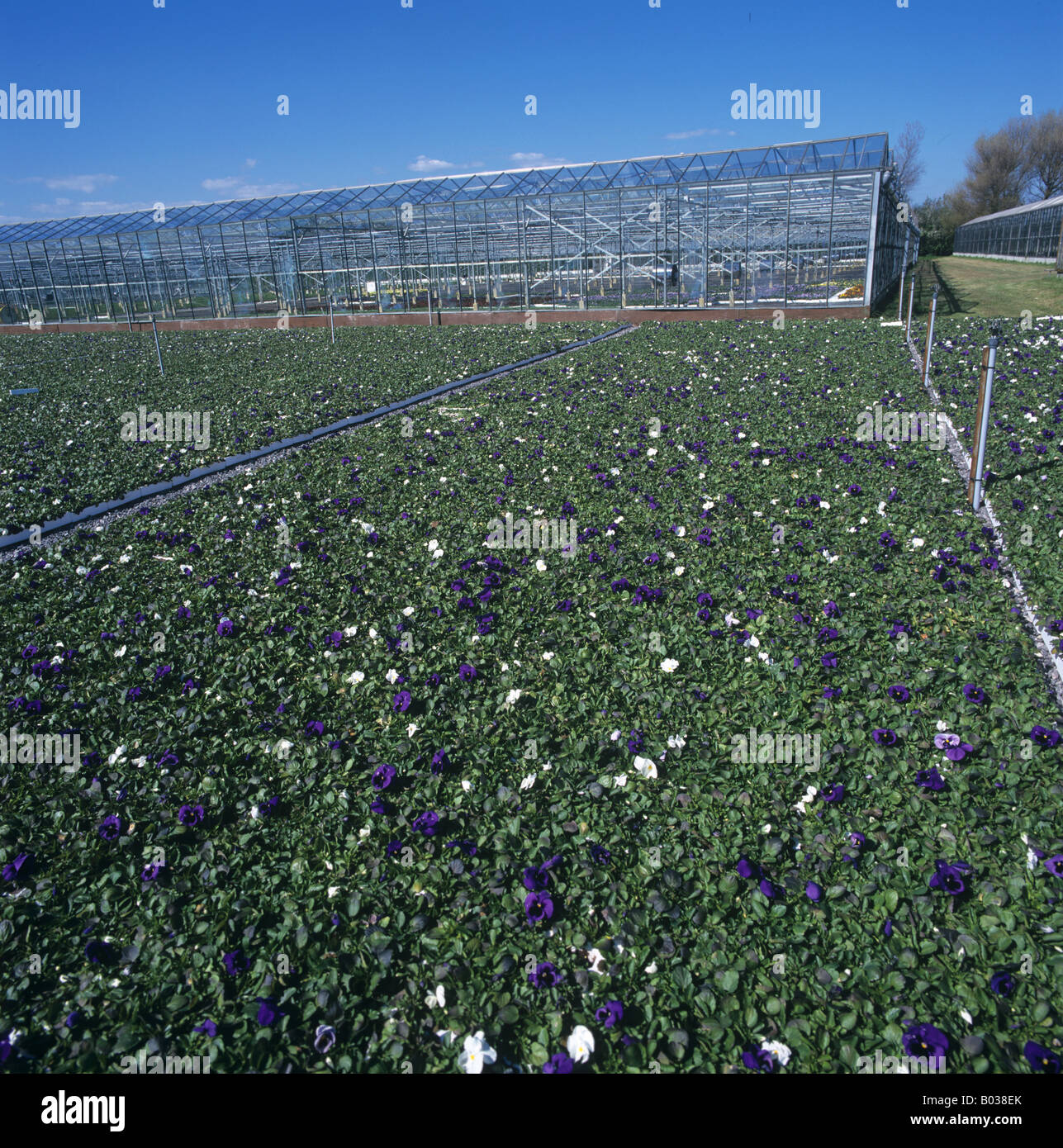 Trays of pansies for retail outdoors in a nursery for ornamental plants - Stock Image