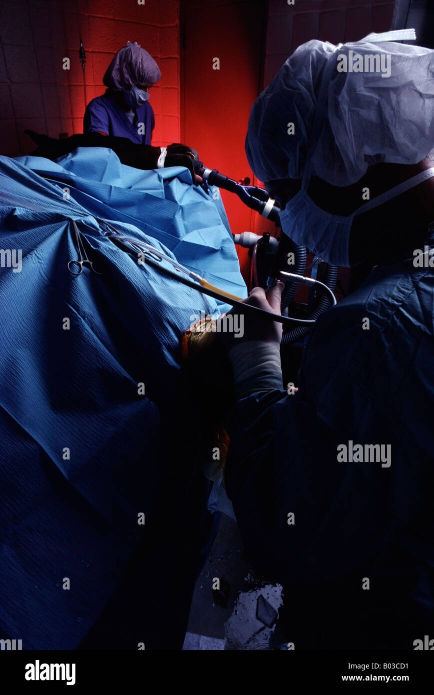 Veterinary Surgeons perform Arthroscopic knee surgery on a quarter horse - Stock Image