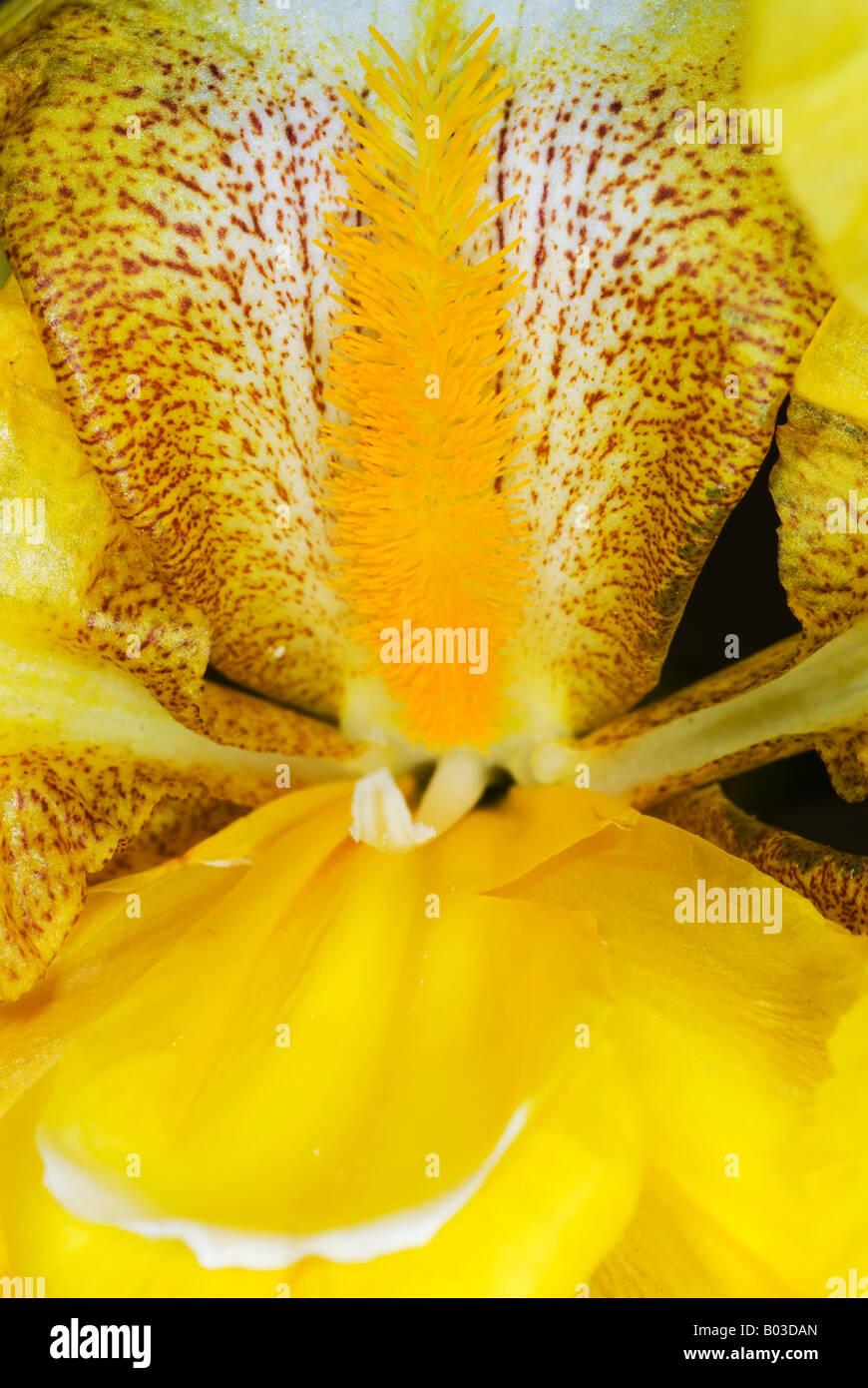 bearded yellow iris flower closeup - Stock Image