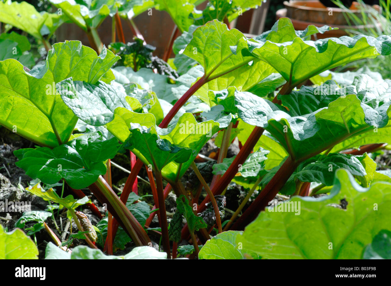 Rhubarb patch in spring - Stock Image