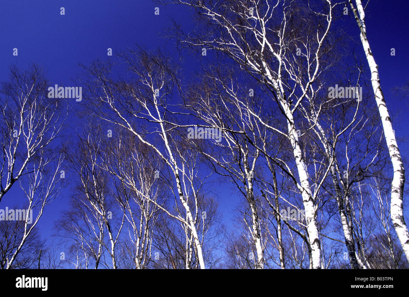 Moorbirken birke betula birch bouleau betula Stock Photo