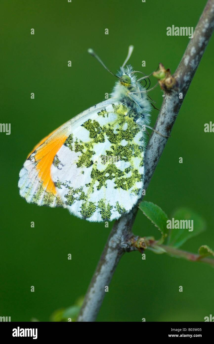 Orange tip Aurorafalter anthocharis cardamines butterfly Stock Photo