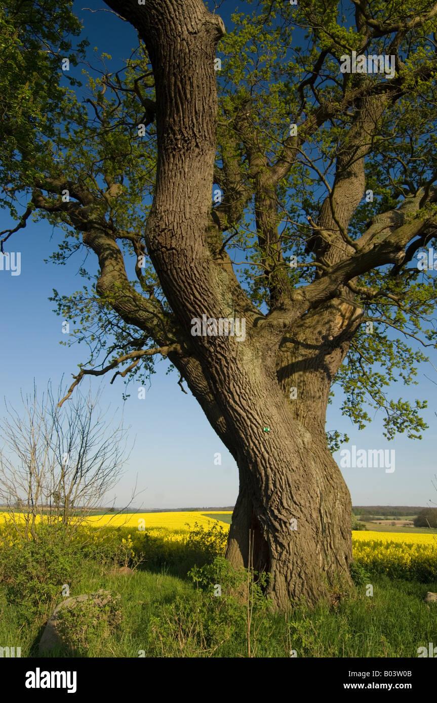 Oak Tree in Rapefield - Stock Image