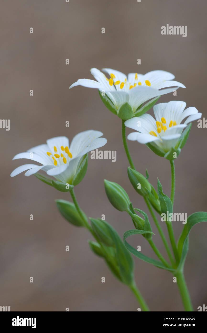Three-nerved Sandwort, Dreinervige Nabelmiere (Moehringia trinervia) - Stock Image
