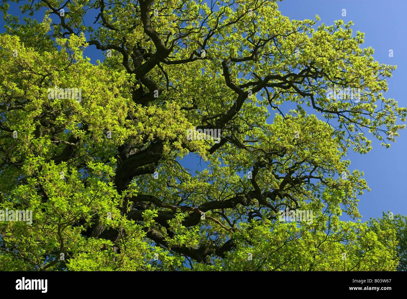 Oak Tree in western pomerania Germany - Stock Image