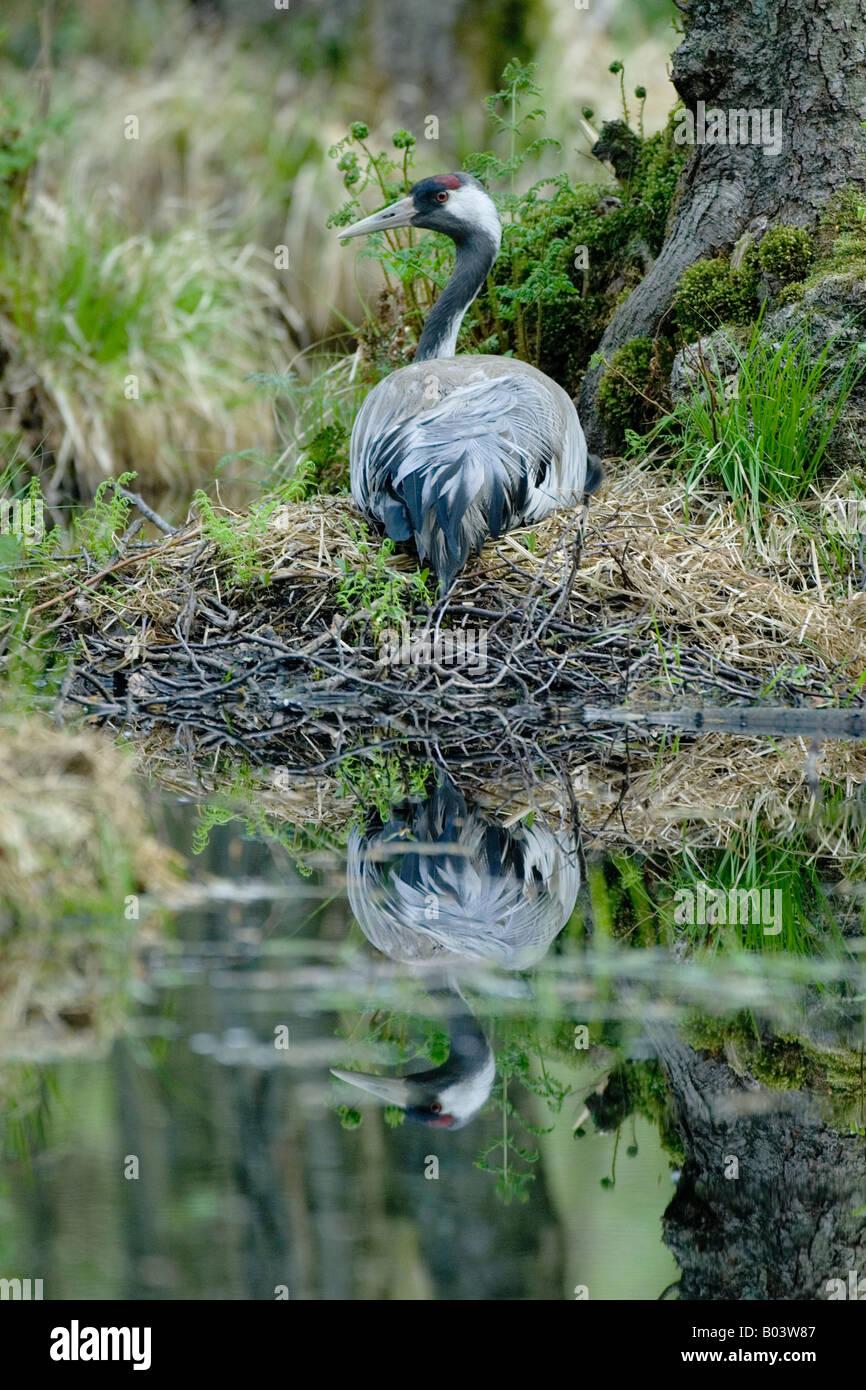 common crane grus grus graukranich germany Stock Photo