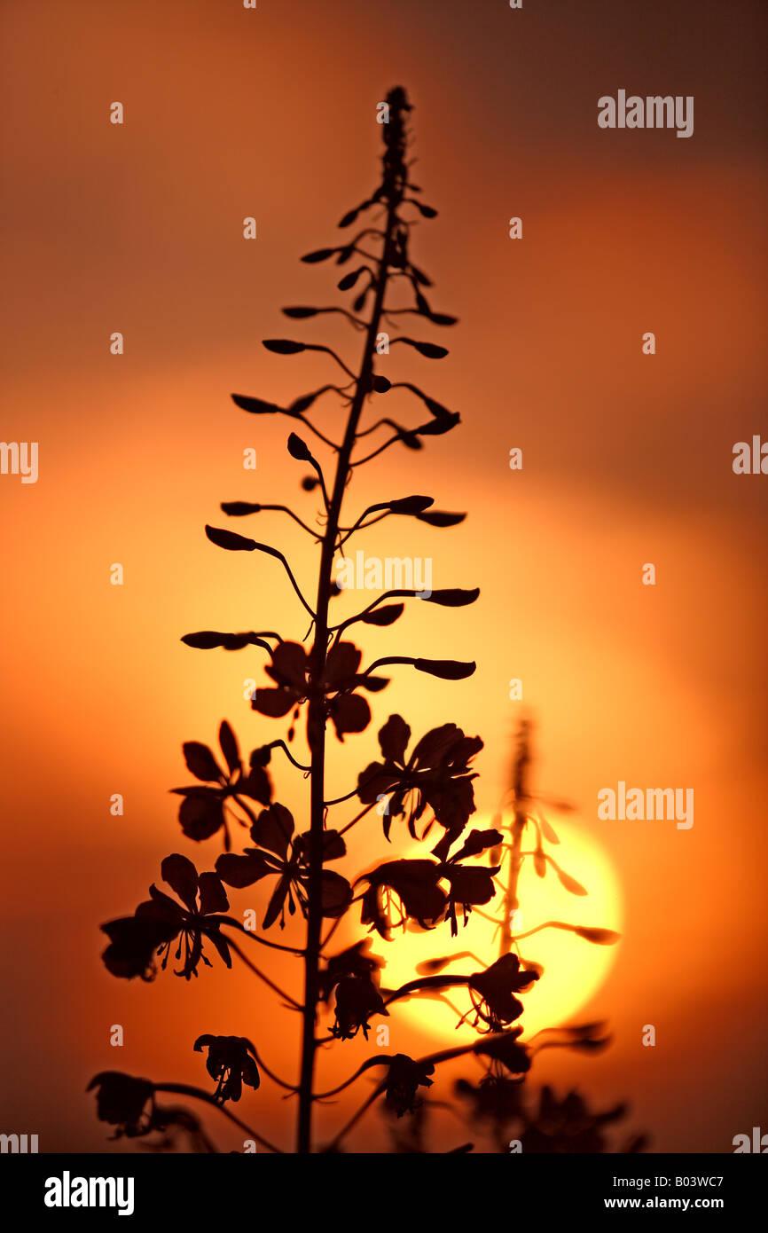 plant sunrise morning silhouette Epilobium angustifolium Angustifolium Aonagraceae - Stock Image
