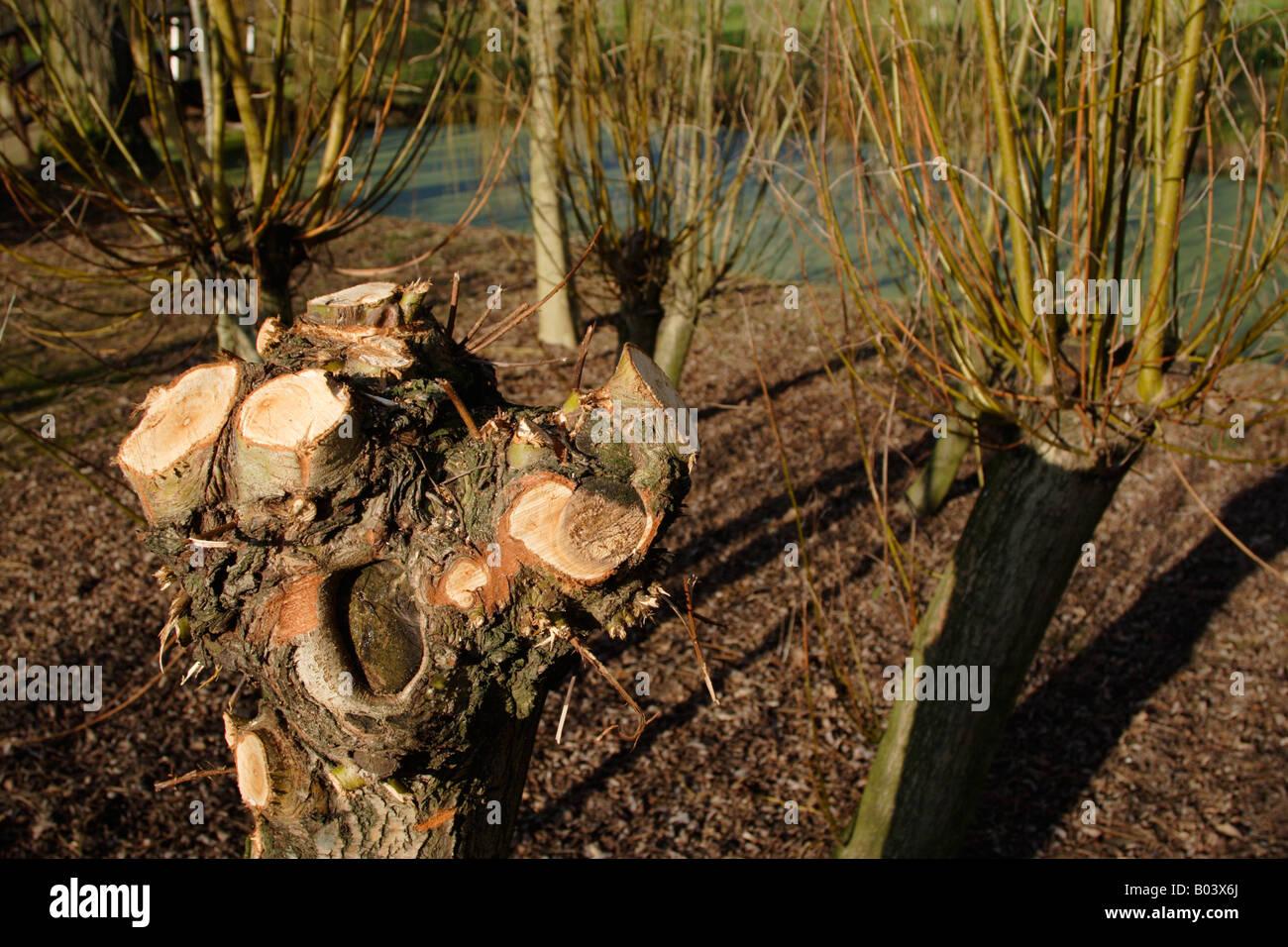 Pollarded willow Salix genus tree England UK - Stock Image