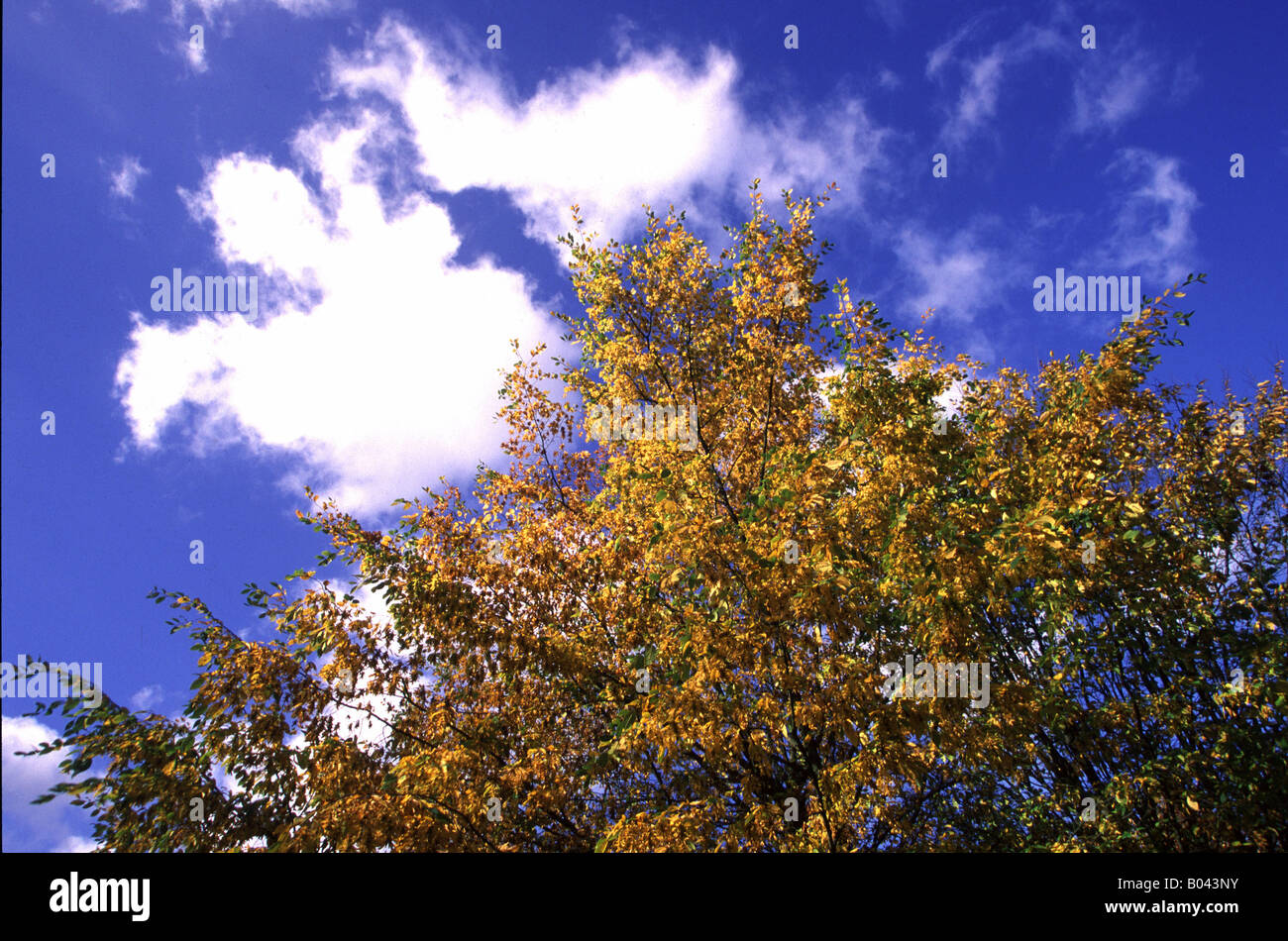Weissbuche Hainbuche carpinus betulus european hornbeam common hornbeam charme commun carpe blanco Hainbuche im Stock Photo