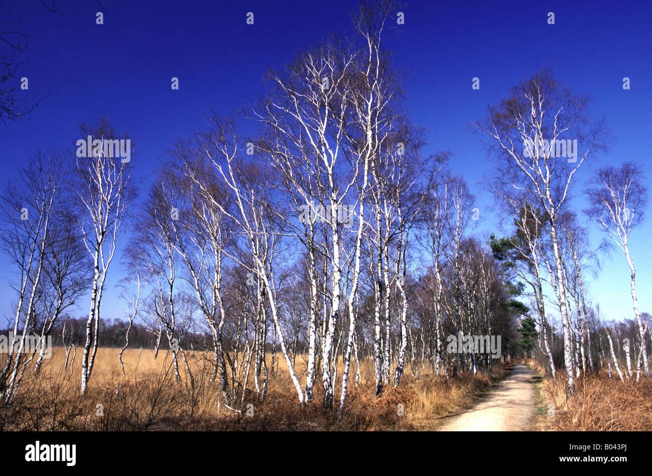 Moorbirken NP Groote Peel Holland birke betula birch bouleau betula Stock Photo