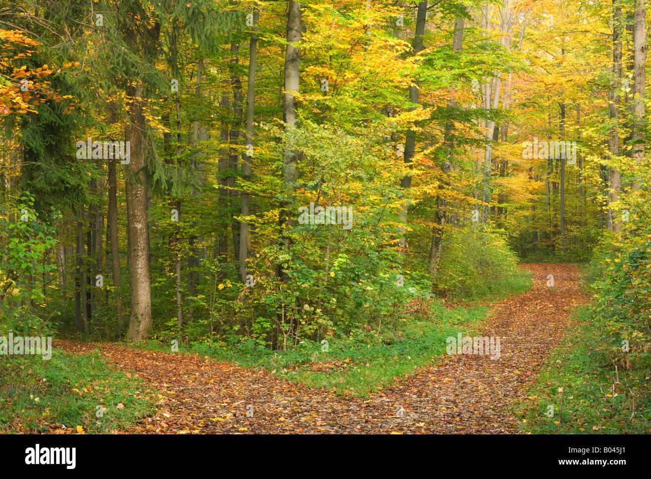 at the crossroads forest road divides from one in two roads which each leads in different directions Schwaebische - Stock Image