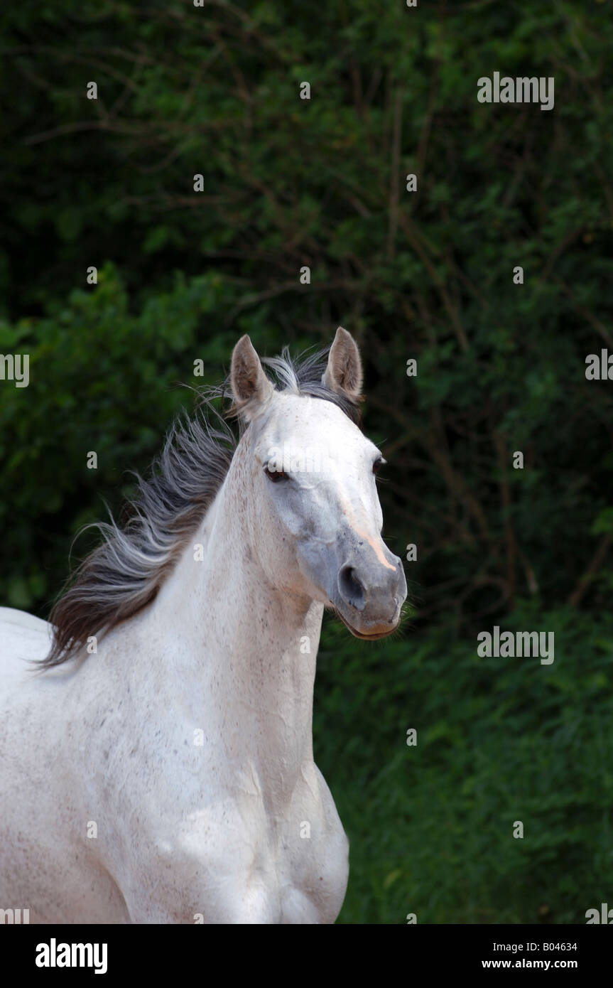 Schimmelpferd Schimmel grey Horse gray Horse white Horse Stock Photo