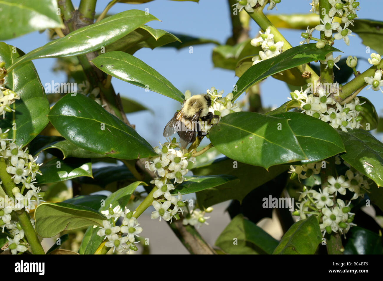 Bumble bee in green bush with white flowers and blue sky stock photo bumble bee in green bush with white flowers and blue sky mightylinksfo
