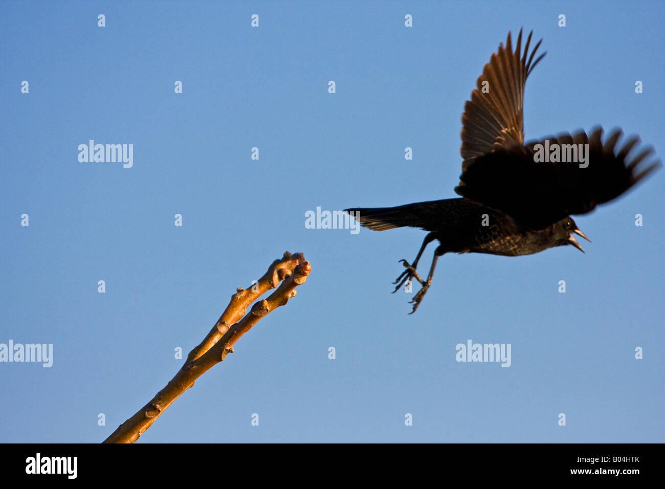 Blackbird taking a leap of faith - Stock Image