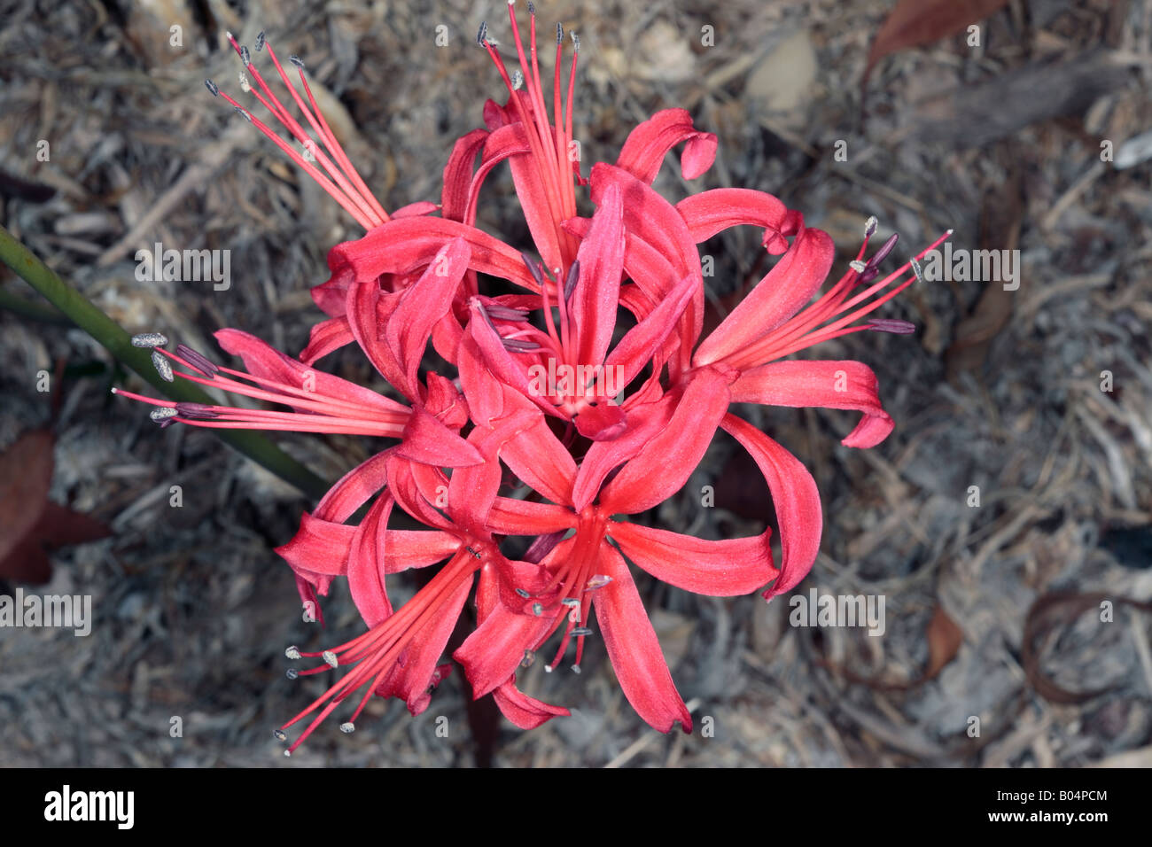 Red Nerina/ Red nerine/Guernsey Lily-Nerine sarniensis-Family Amaryllidaceae - Stock Image