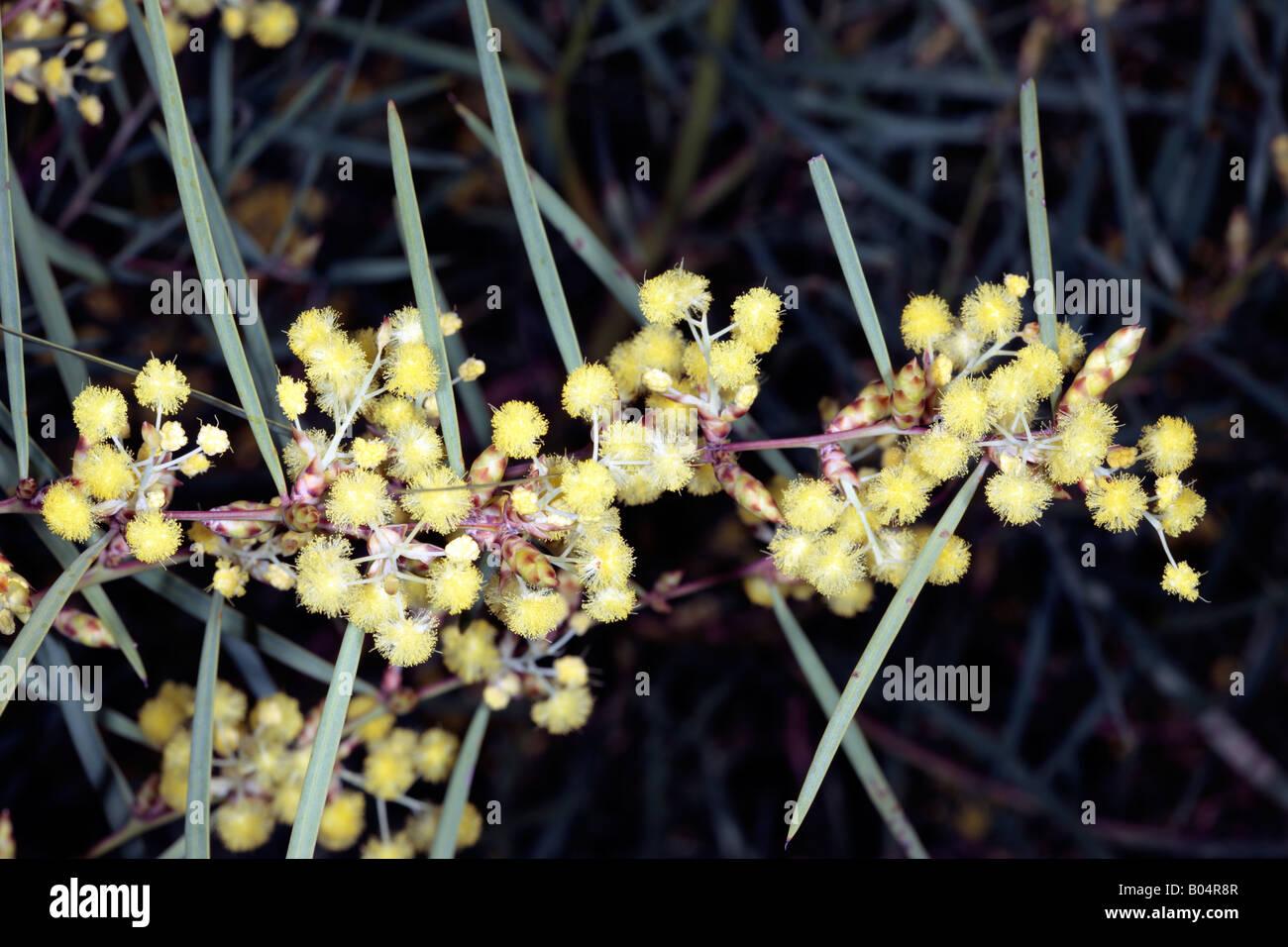 Flinders Range Wattle Acacia Iteaphylla Family Mimosaceae Stock