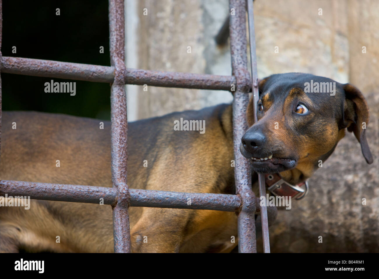 A dog, Canis familiaris, at a barred window in Piazza San Martino in the City of Lucca, Province of Lucca, Region - Stock Image
