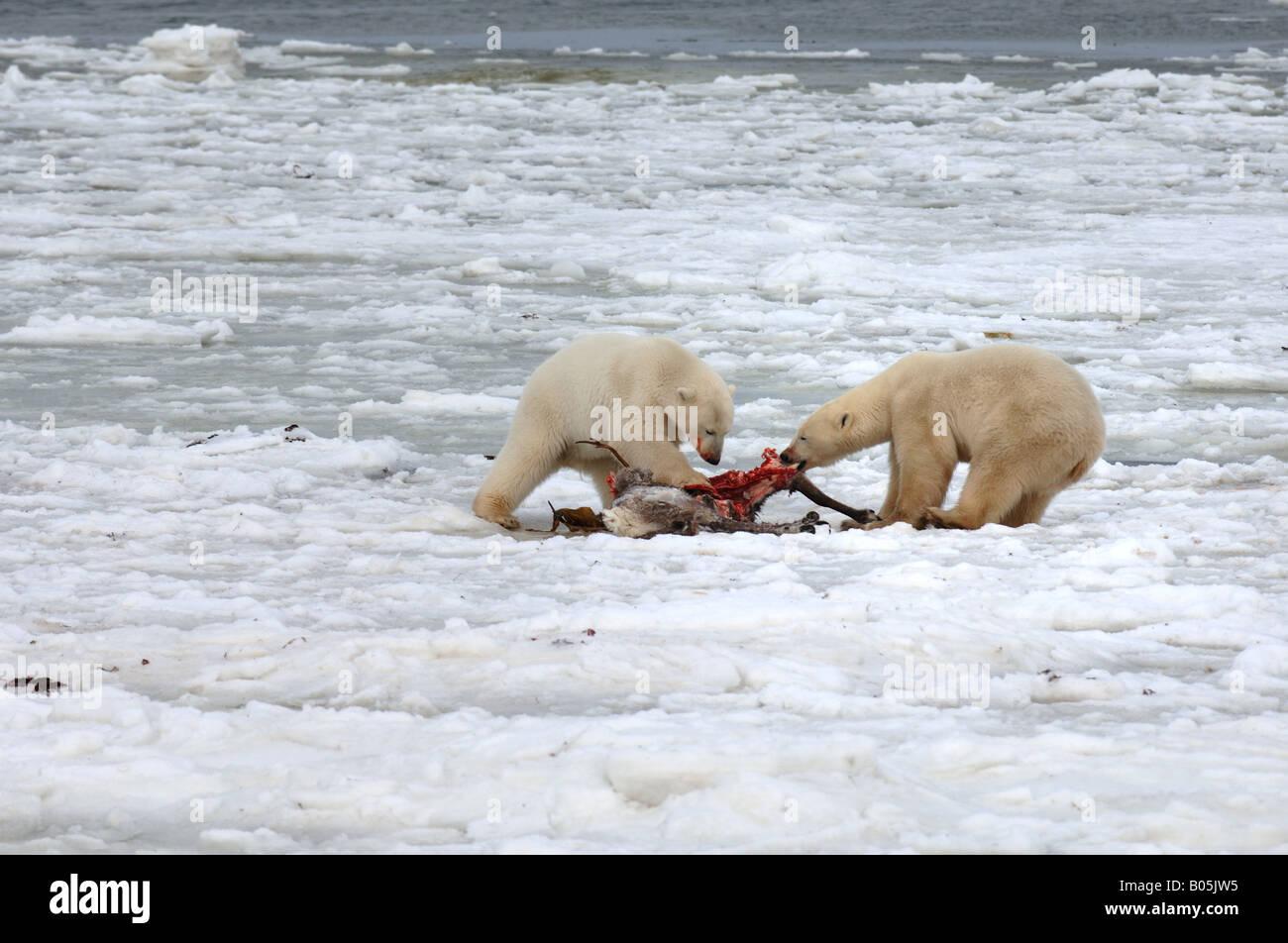 Manitoba Hudson bay unique photos of male polar bear feeding on a caribou carcass - Stock Image