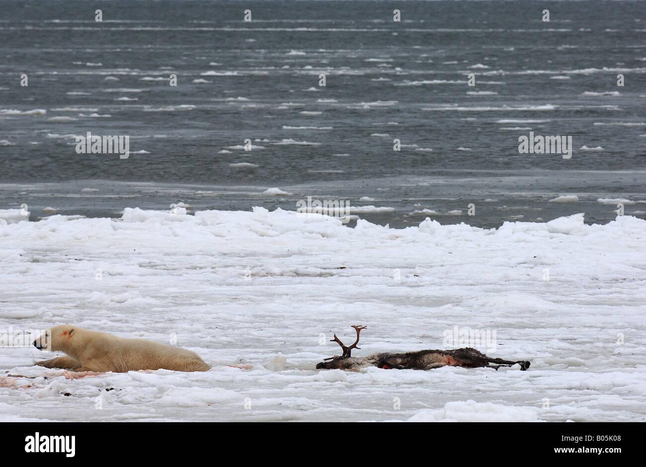 Manitoba Hudson bay unique photos of male polar bear feeding on a caribou carcass Stock Photo
