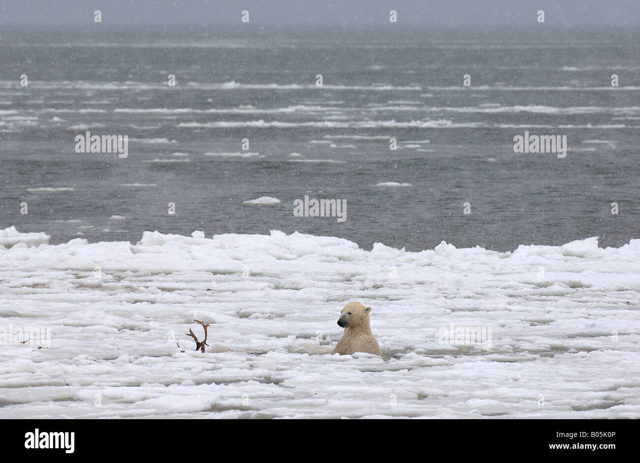Manitoba Hudson bay unique photos of male polar bear feeding on a caribou carcass Stock Photo