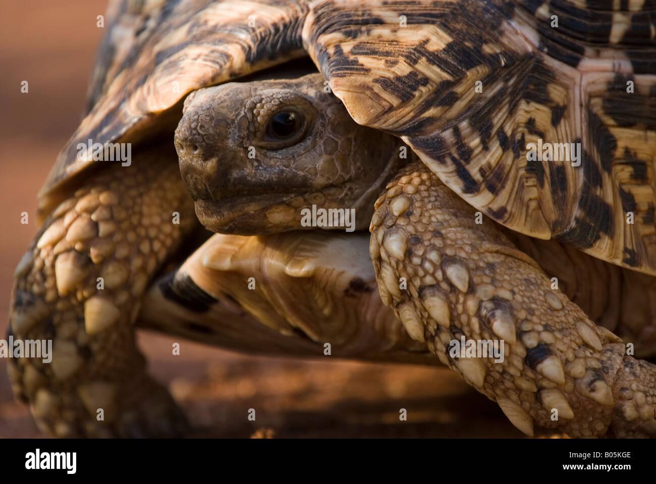 A leopard tortoise Geochelone Pardalis - Stock Image
