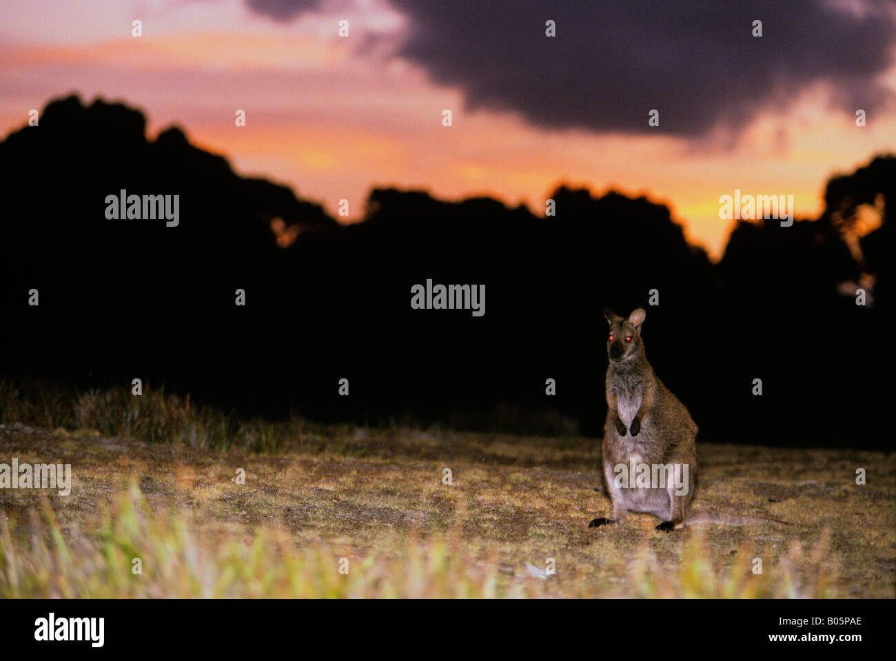 Bennett s Wallaby or Red Necked Wallaby Macropus rufogriseus rufogriseus at dusk Mount William National Park Tasmania Australia Stock Photo