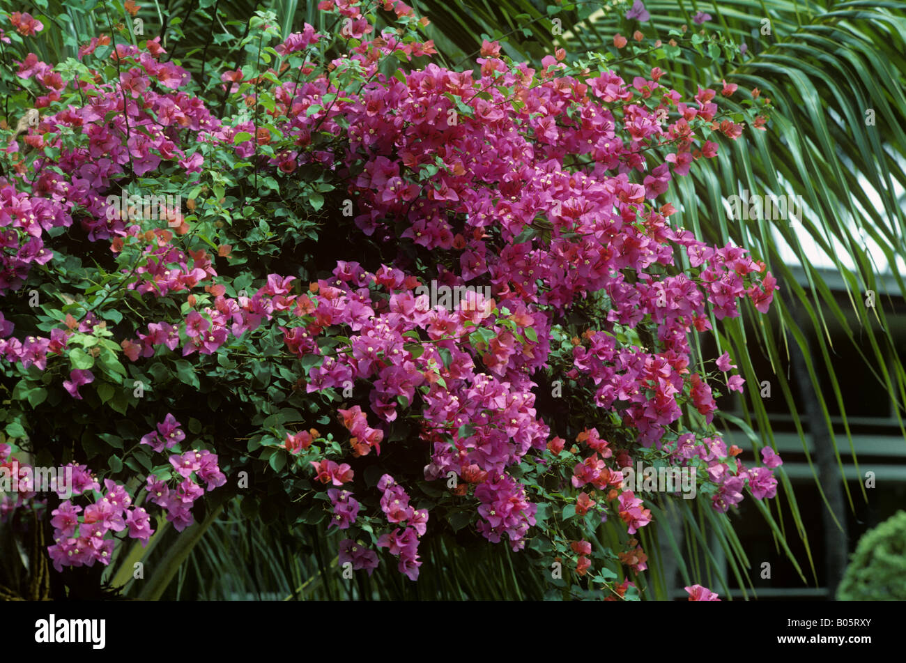 Heavily flowering pink Bougainvillea plant Mindanao Philippines - Stock Image