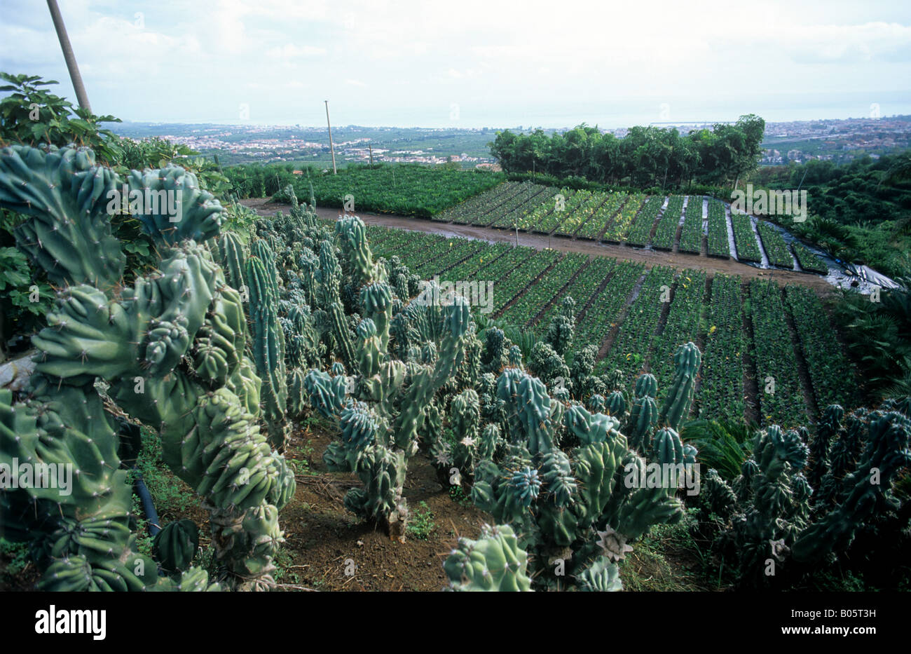 Sicilian foliage plant nursery with cacti and succulent plants - Stock Image