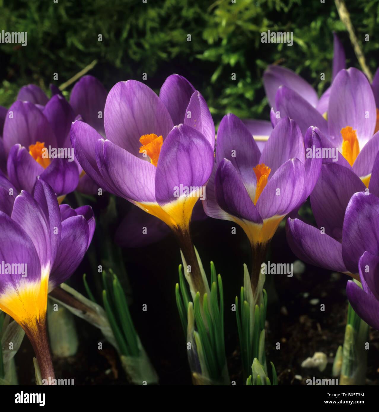 Flowering garden bulb Crocus sieberi sublimus f tricolor Tricolour - Stock Image