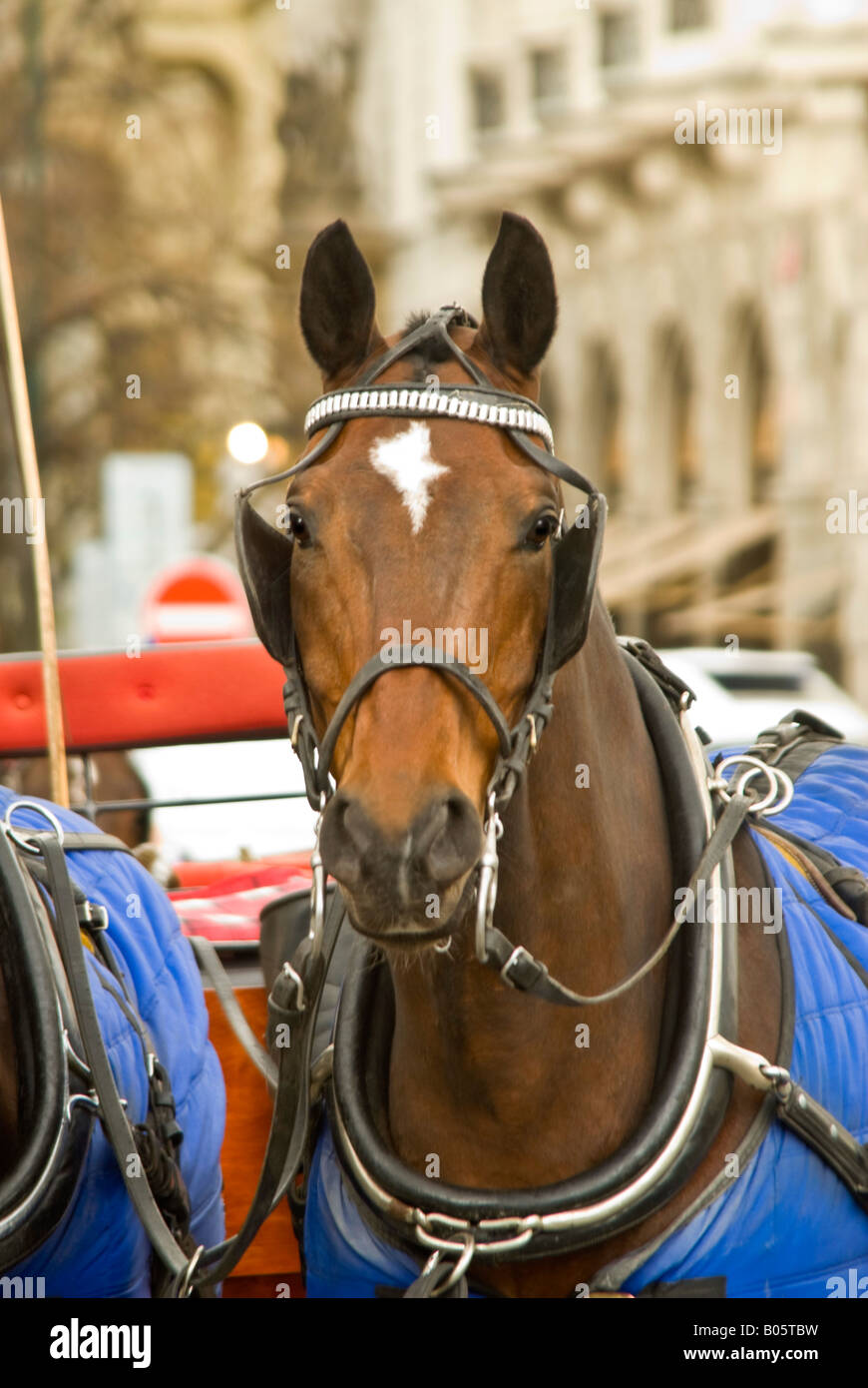 Vertical Close Up Of A Dark Bay Horse Harnessed Up To A Carriage In Stock Photo Alamy