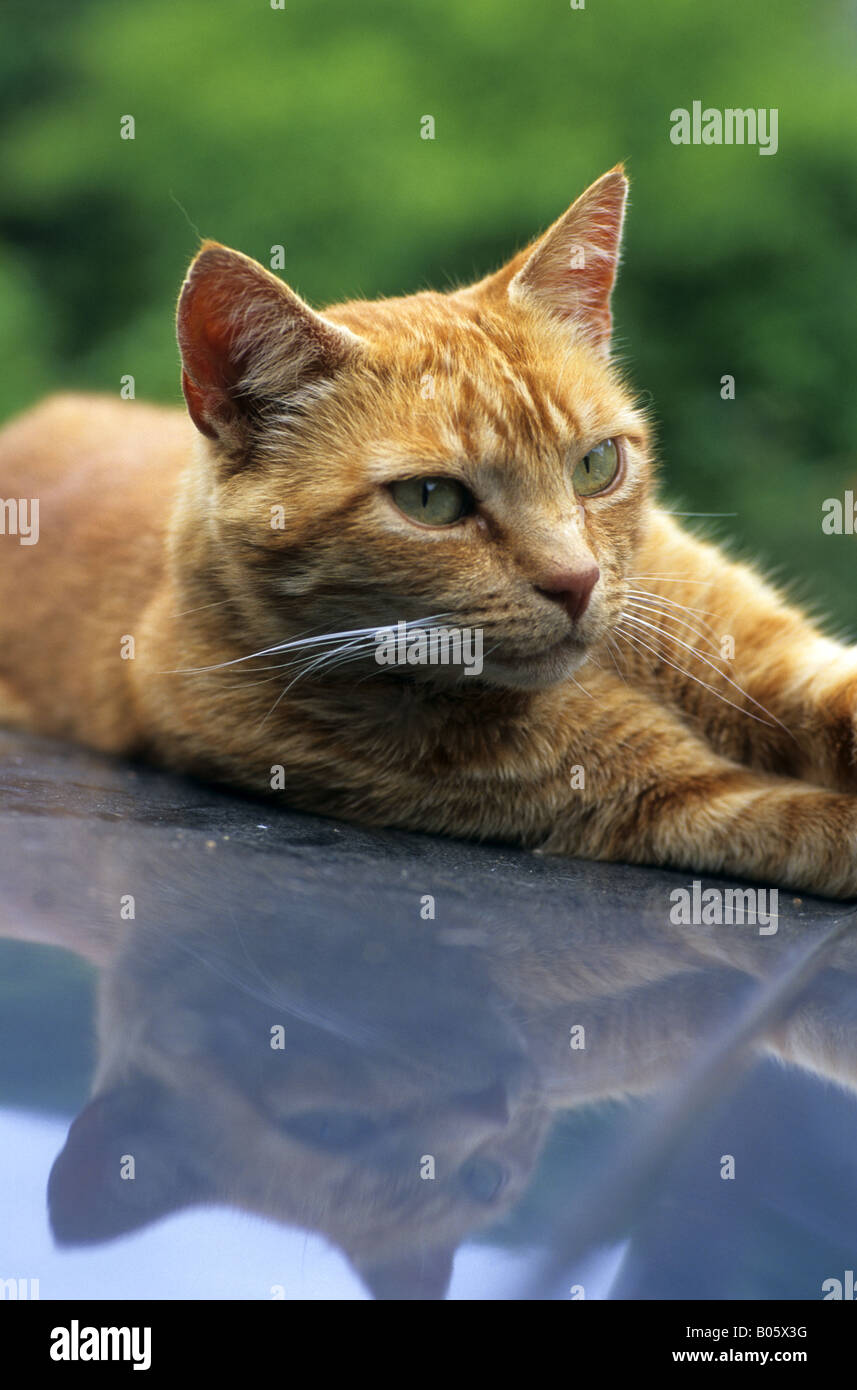 ginger cat lying on car roof - Stock Image