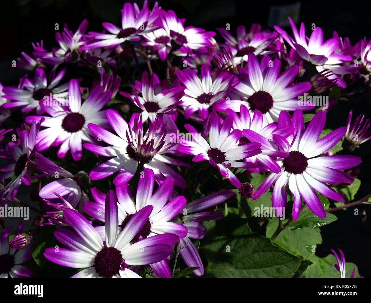 senetti magenta bicolour(pericallis) in flower - Stock Image