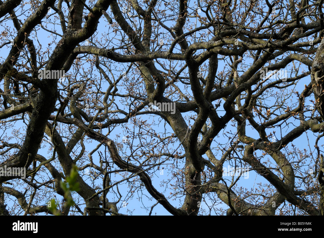 Tree boughs against sky - Stock Image