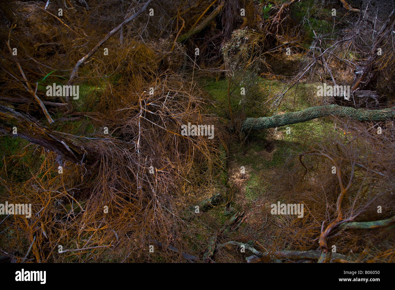 Moss and old decaying branches covered in moss and algae around thermal pools in Rotorua area, New Zealand. - Stock Image