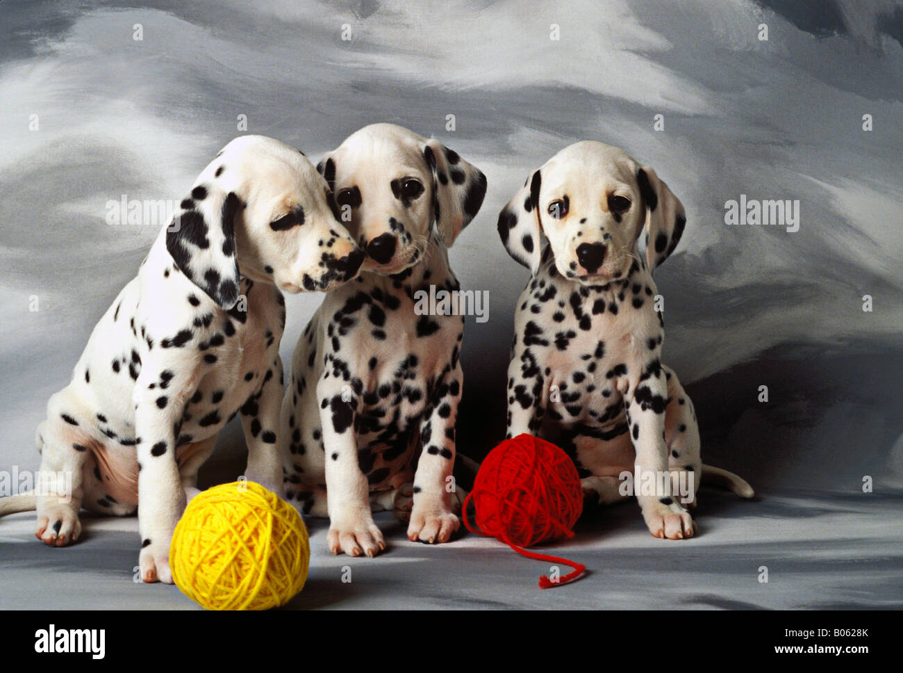 Dalmatian puppies three puppies with balls of red and yellow yarn - Stock Image