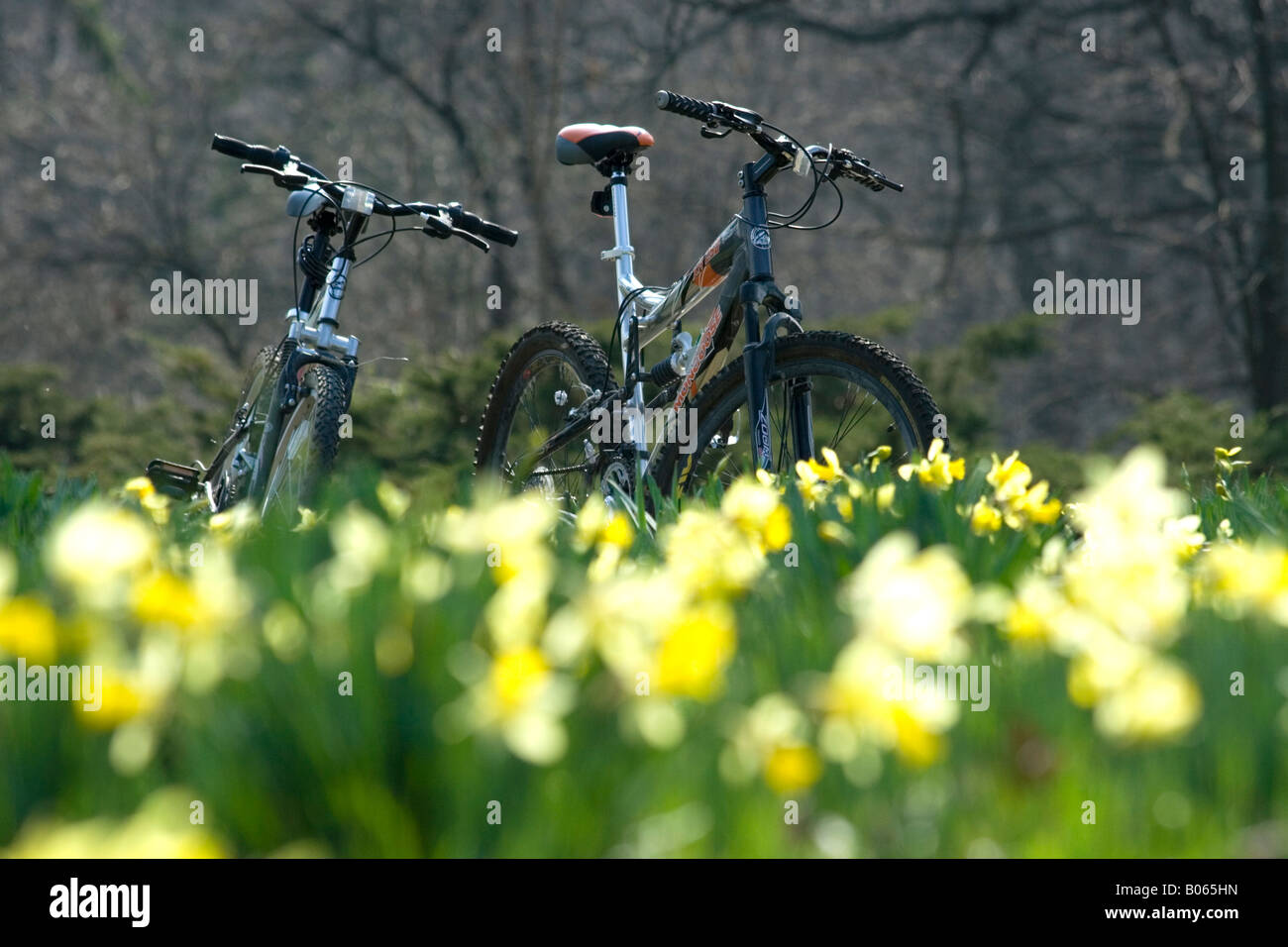 Two bicycles on the meadow full of yellow jonquils in Morton Arboretum Stock Photo
