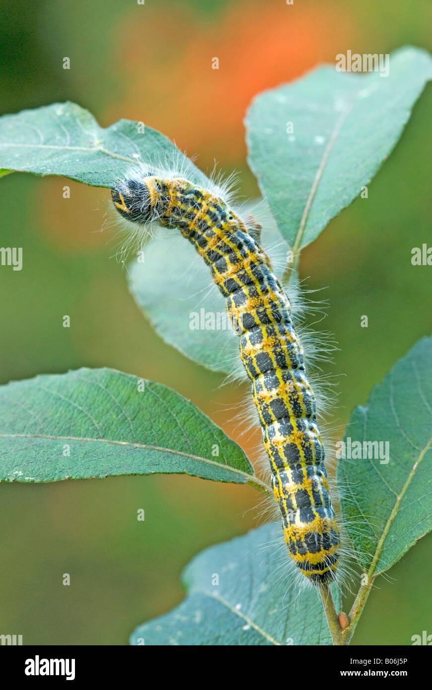Buff-tip Moth (Phalera bucephala), caterpillar eating leaf - Stock Image
