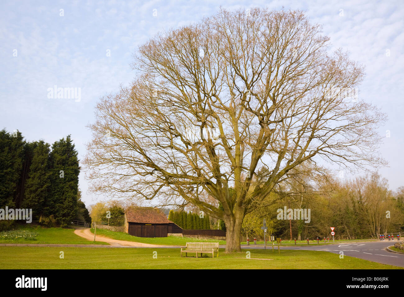 Tilford Surrey England UK April Oak tree on rural village green planted in commemoration of Edward Vll coronation - Stock Image