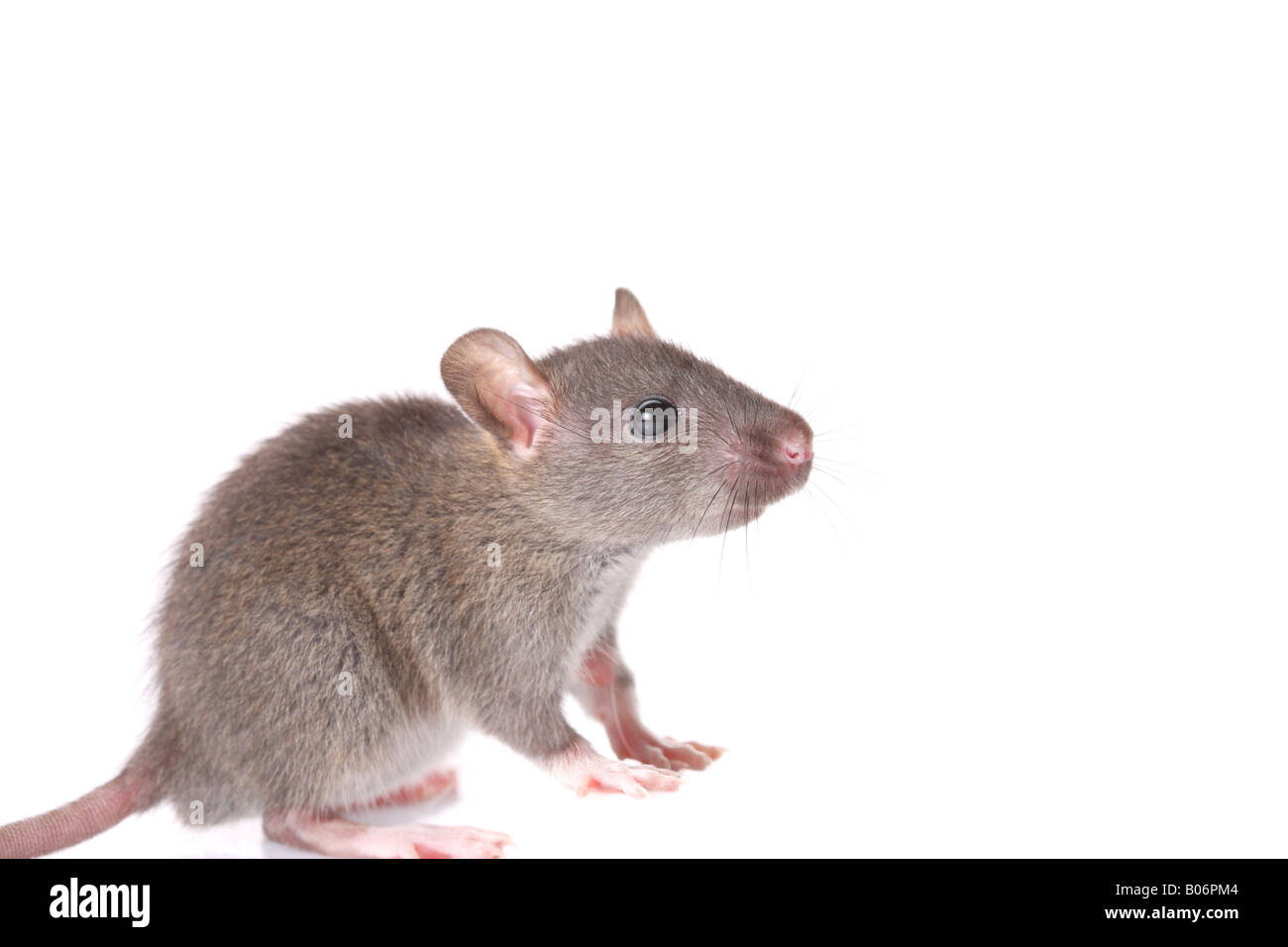 Curios mouse - Stock Image