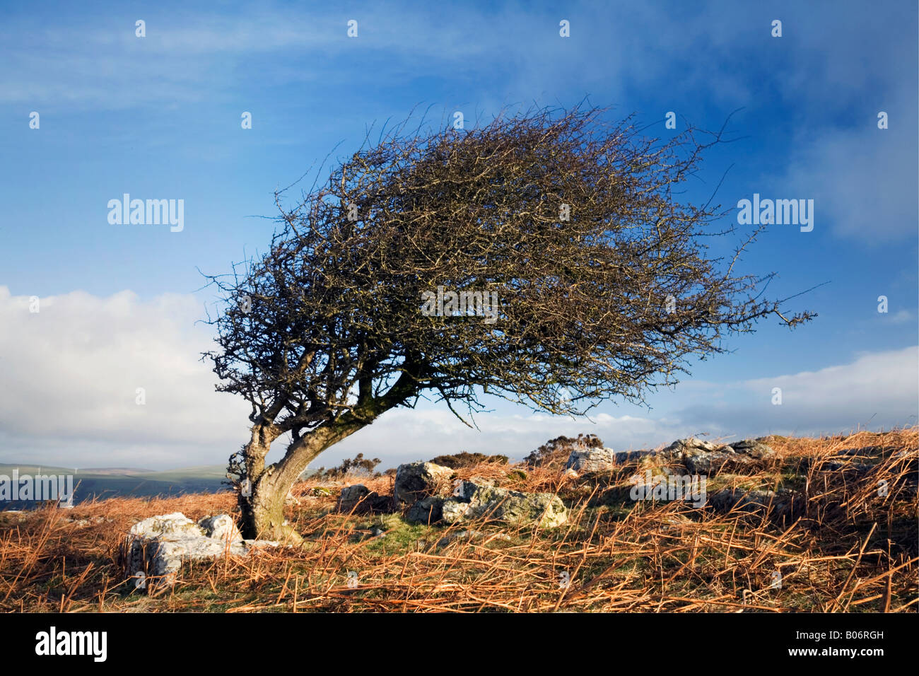 Wind sculpted hawthorn tree on Birkrigg Common near Ulverston in Cumbria - Stock Image
