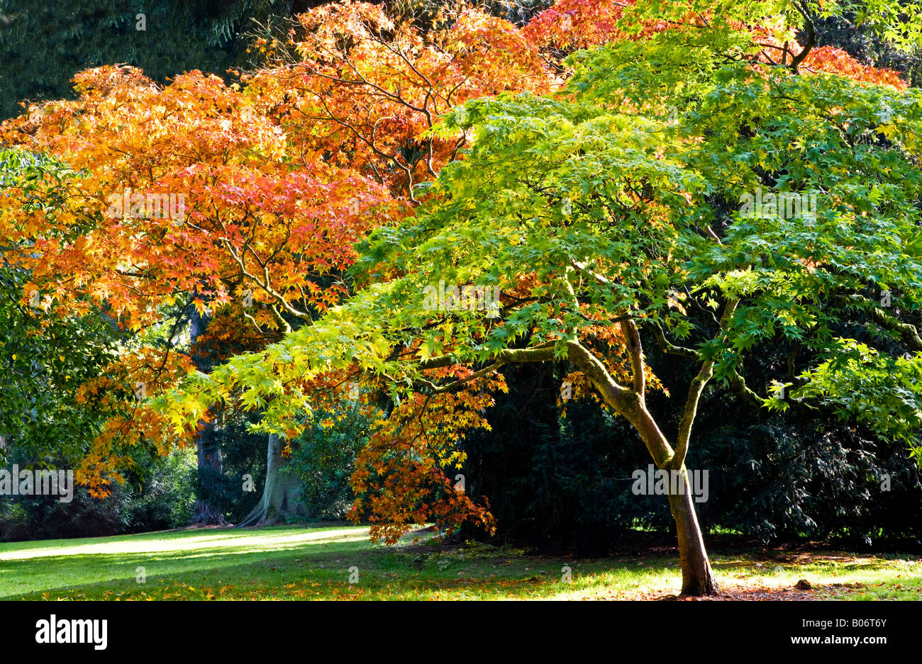 Green and golden Japanese maple trees showing autumn colour. Stock Photo