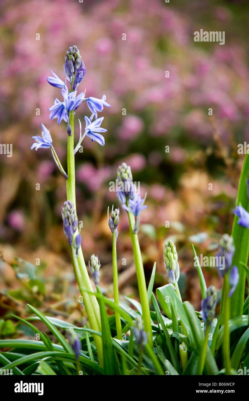 English Bluebell, Hyacinthoides non-scripta Stock Photo