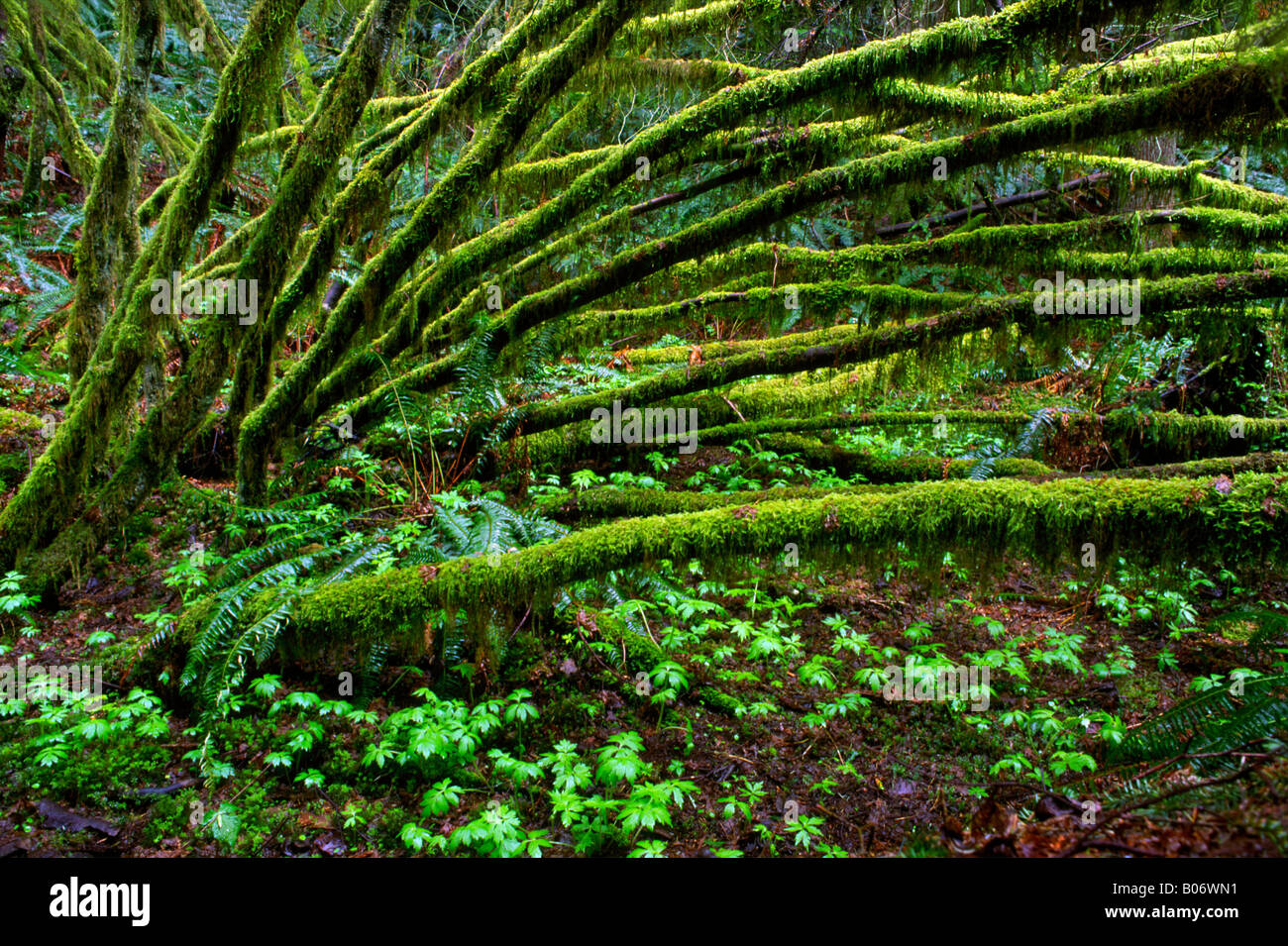 Mossy branches in the spring forms a catherdral-like covering of the forest floor, Tiger Mountain, Washington State, - Stock Image